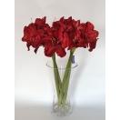 Lill Amaryllis RED